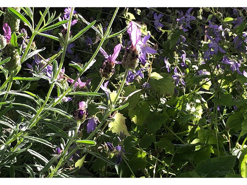 Flieder mit Bienen